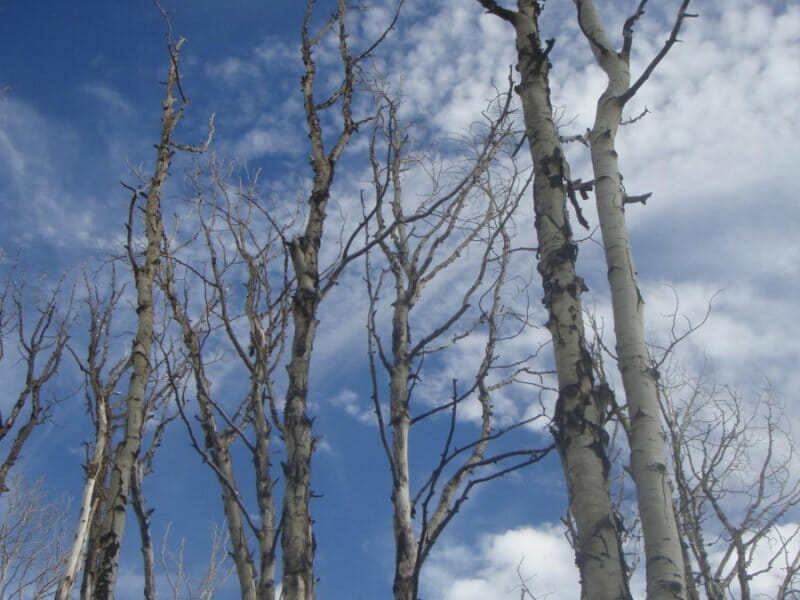 photo: Aspens affected by drought. Credit: William Anderegg