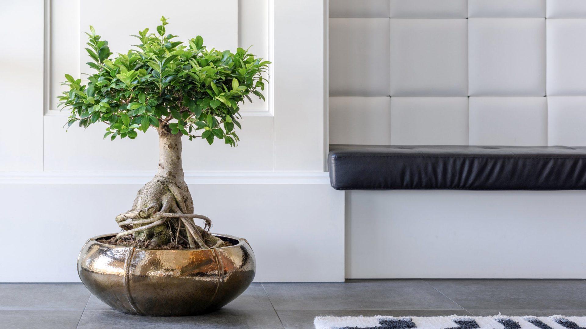 Tischgefäß mit Ficus, Haas Innengrün