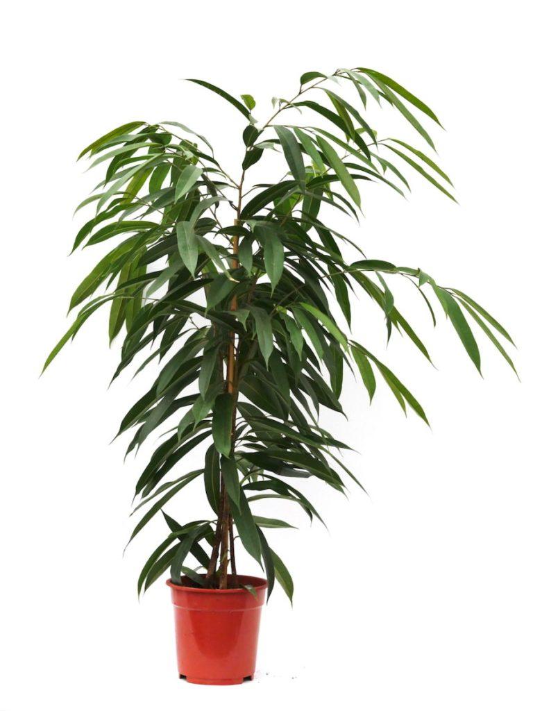 Ficus, Haas Innengrün
