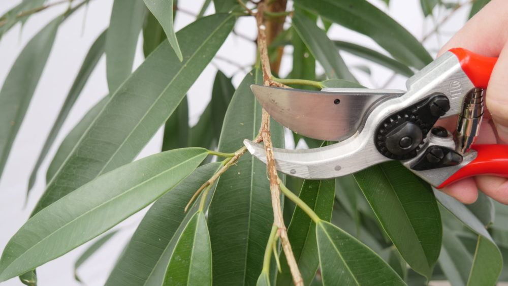 Ficus schneiden, Haas Innengrün