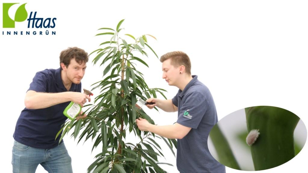 Läuse, Blattläuse, Wollläuse, Spinnmilben auf Pflanzen bekämpfen, Haas Innengrün
