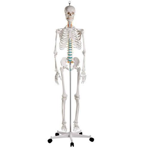 ZJY111S-Skeleton_School