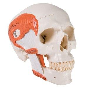 ZJY386J-TMJ_Skull