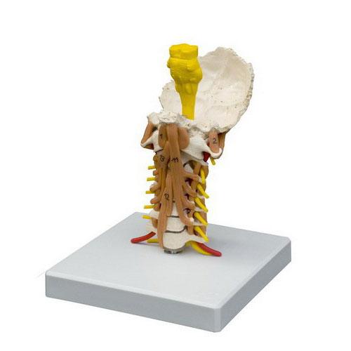 ZJZ212M-Cervical_Vertebrae_Muscled-