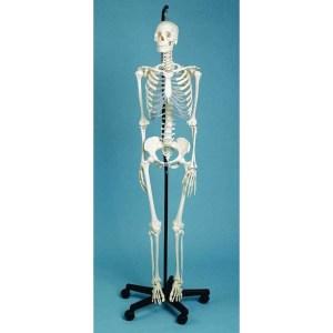 ZJY119Y-Male-Skeleton