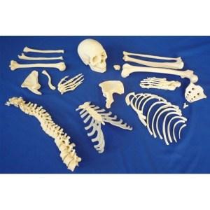 ZJY130L-Disarticulated-Half-Skeleton-2-Part-Skull