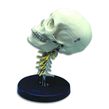 zjy407p-Cervical Skull Painted