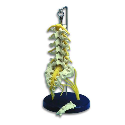 ZJZ245E-Flexible Lumbar Spine