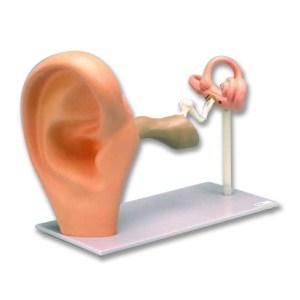 zkh388c-Ear - Enlarged