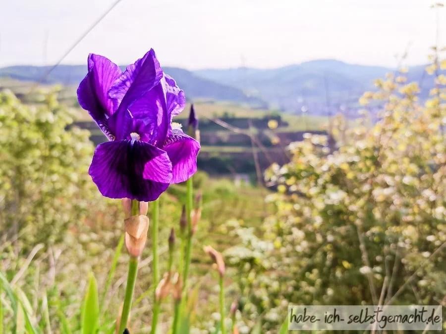 Wilde Orchideen im Kaiserstuhl