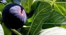 Büyükşehir'den siyah incir ihracatı