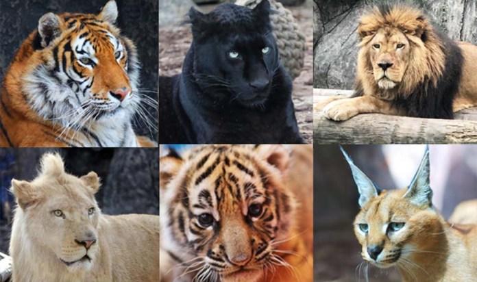 Büyük kedilere isim bulundu