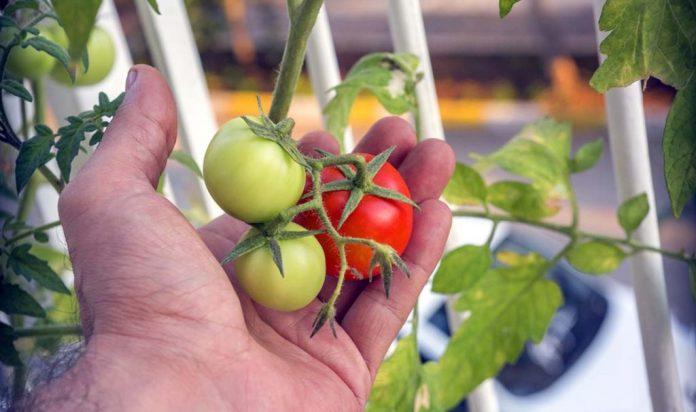Domates, biber, patlıcan balkona çıktı