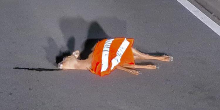 Güvenlik yeleği giymiş ölü geyik bulundu