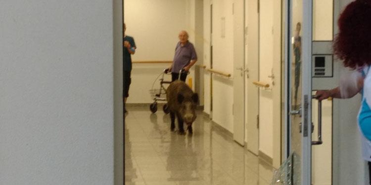 Hastaneyi domuz bastı
