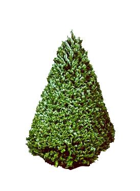 Fresh Christmas Trees Hawaii | 4-5 ft Douglas Fir Christmas Tree