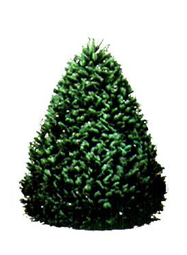 6-7 ft Grand Fir Christmas Tree