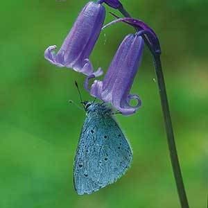 Image result for Holly blue, butterfly