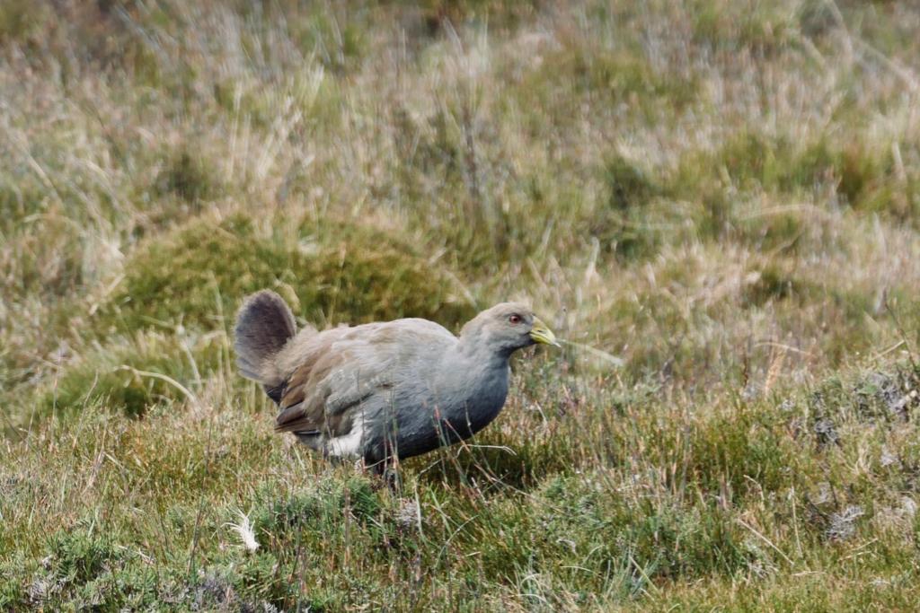 Native Tasmanian Hen