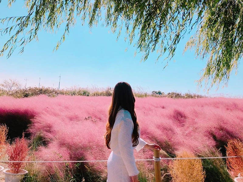 Current View of Pink Muhly in Seoul Sky Park