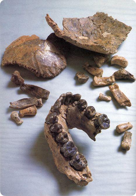 Conjunto de fósiles identificados como OH 7
