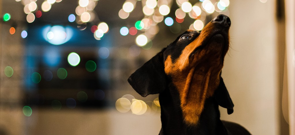 dachshund with lights