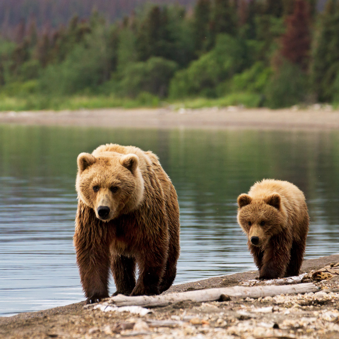 two brown bears by the river