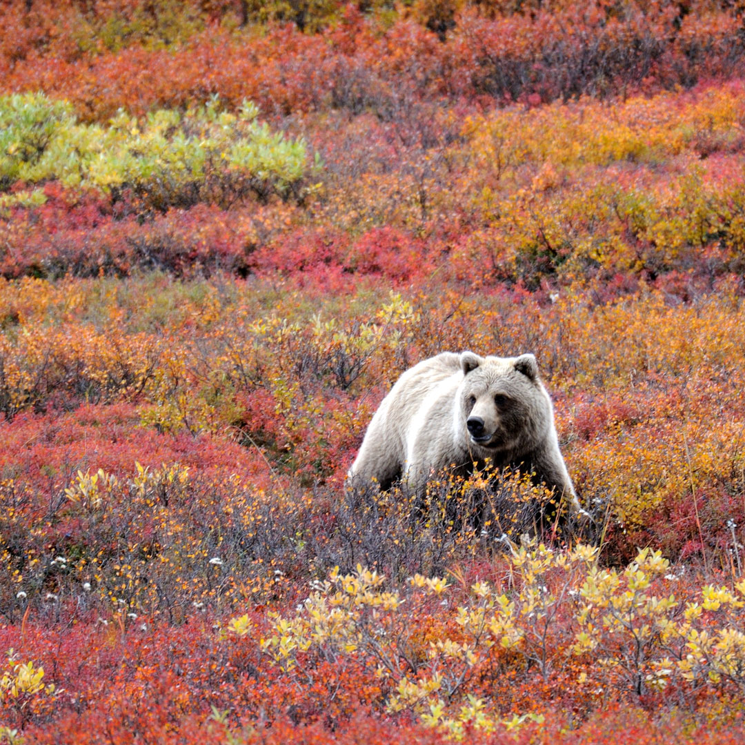 grizzly bear in wilderness