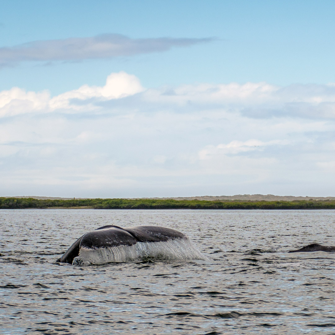 gray whale tale surfacing in Magdalena Bay