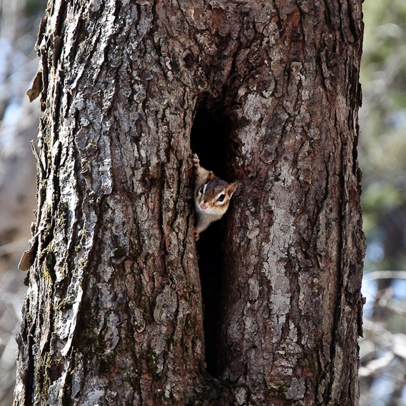A chipmunk, which looks like a tiny squirrel, peeks its head and front paws out of an opening in the center of a tree
