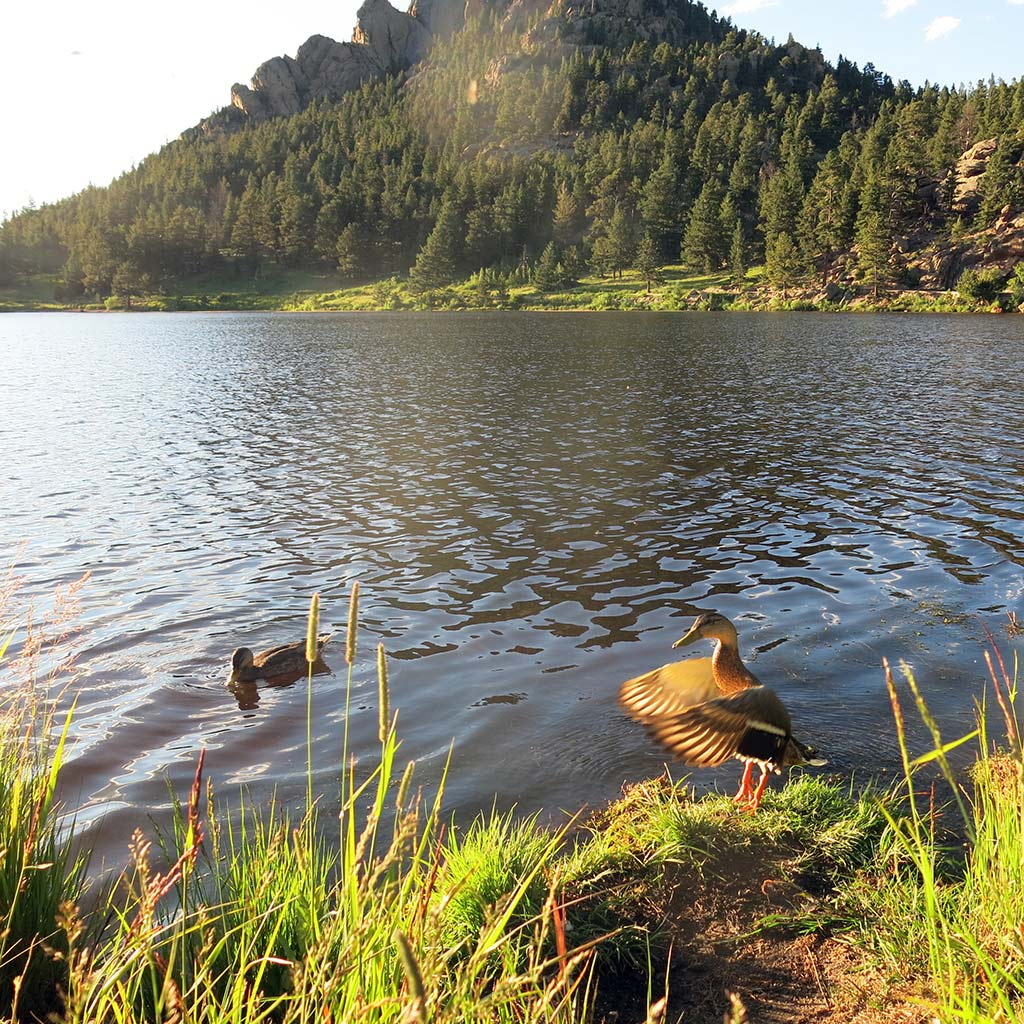 A duck flaps its wings at the edge of Lily Lake in Rocky Mountain National Park.