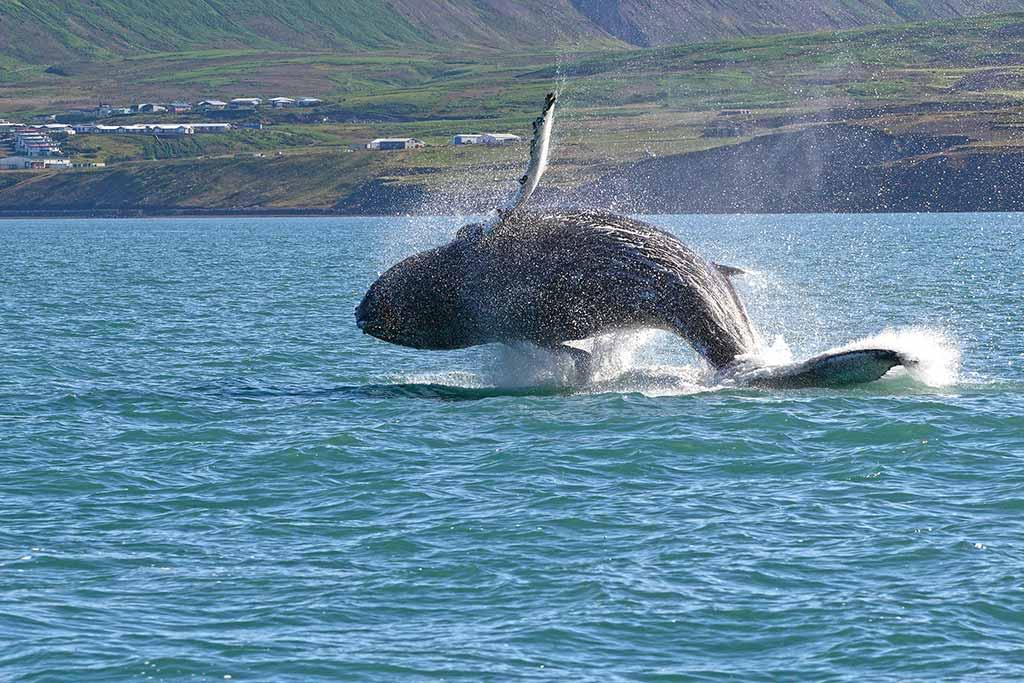 Whale-watching in Húsavik