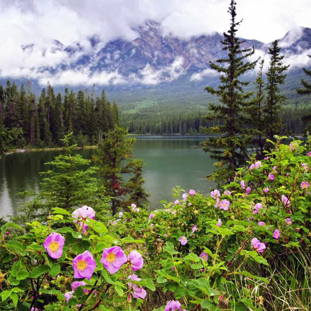 Wild rose flowers in bloom at Pyramid Lake in Jasper National Park.