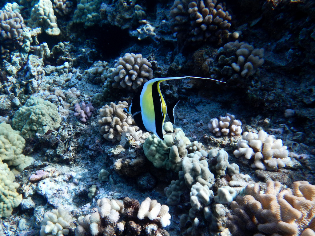 A moorish idol photographed in front of clusters of colorful coral.