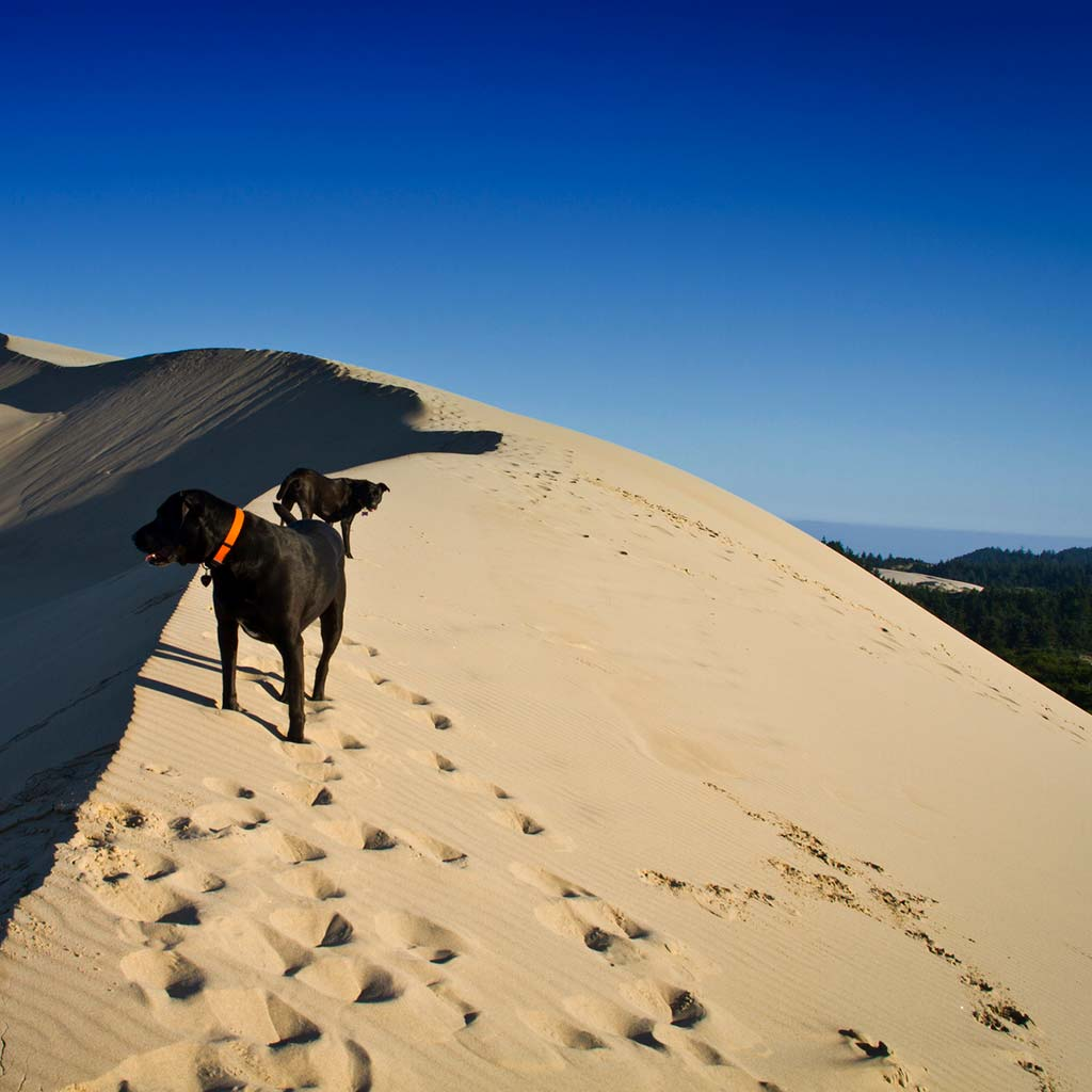 Two dogs at the crest of a sand dune in Oregon's Honeyman State Park.