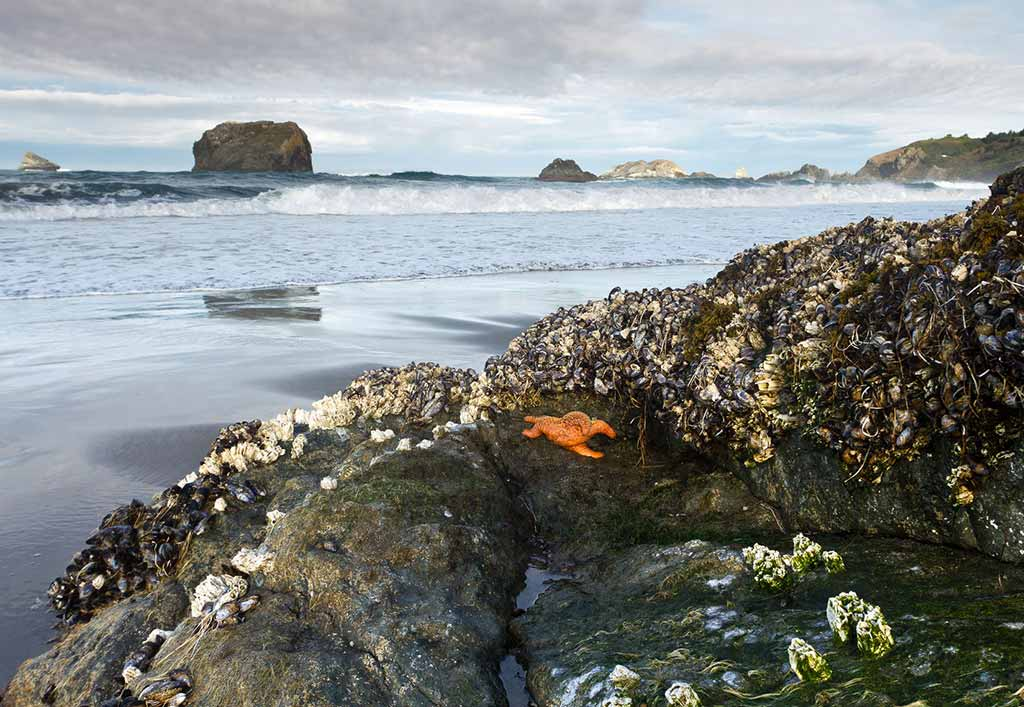 Mussels, barnacles, and sea stars on a rock at low tide. Photo © Weldon Schloneger/123rf.