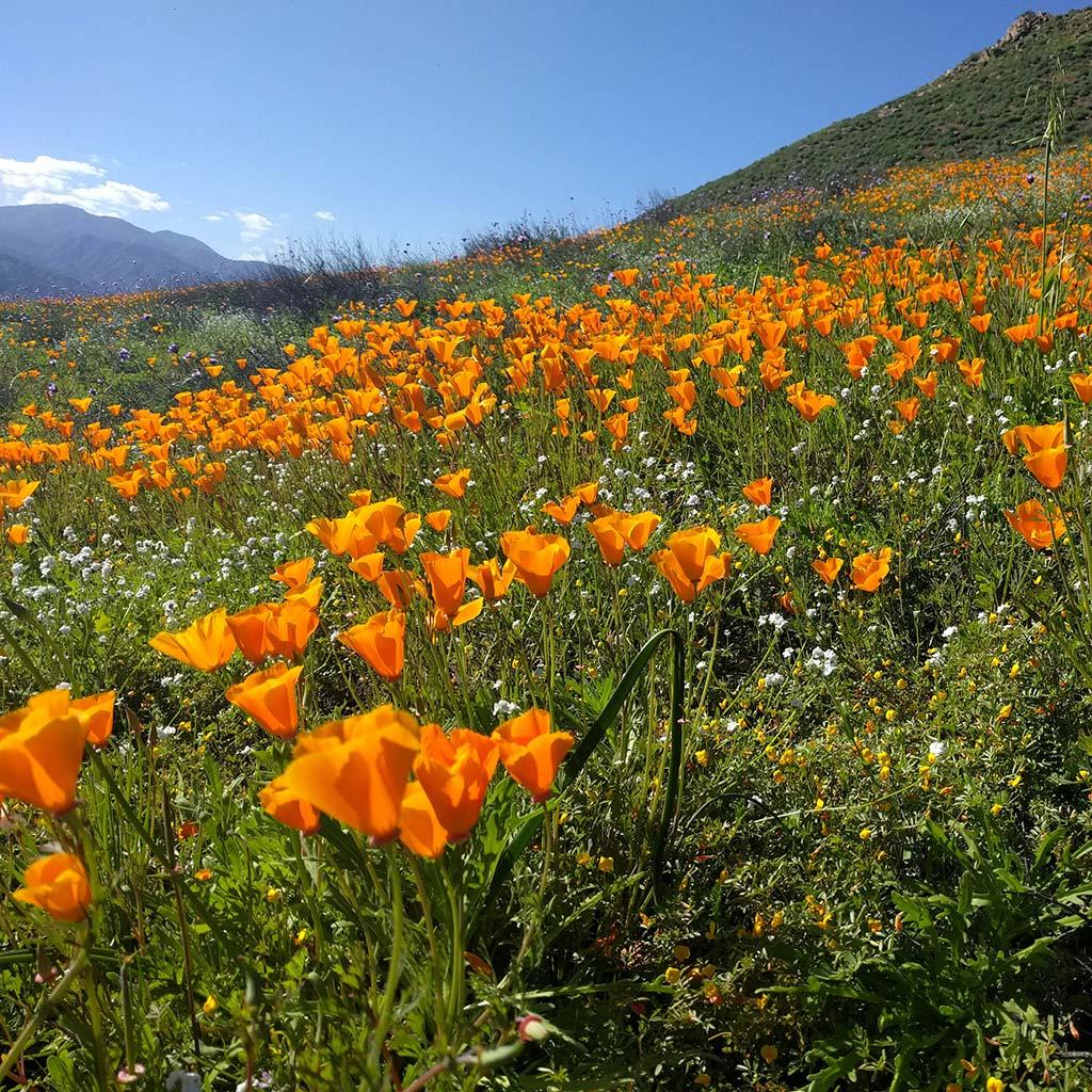 Wildflower blooms of orange poppies on the hills