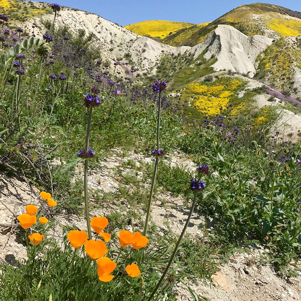 Orange and purple wildflowers bloom in front of a hilly California landscape