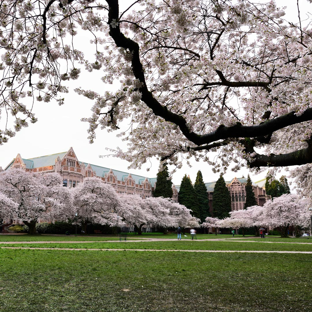 cherry blossom trees and green lawn at the University of Washington