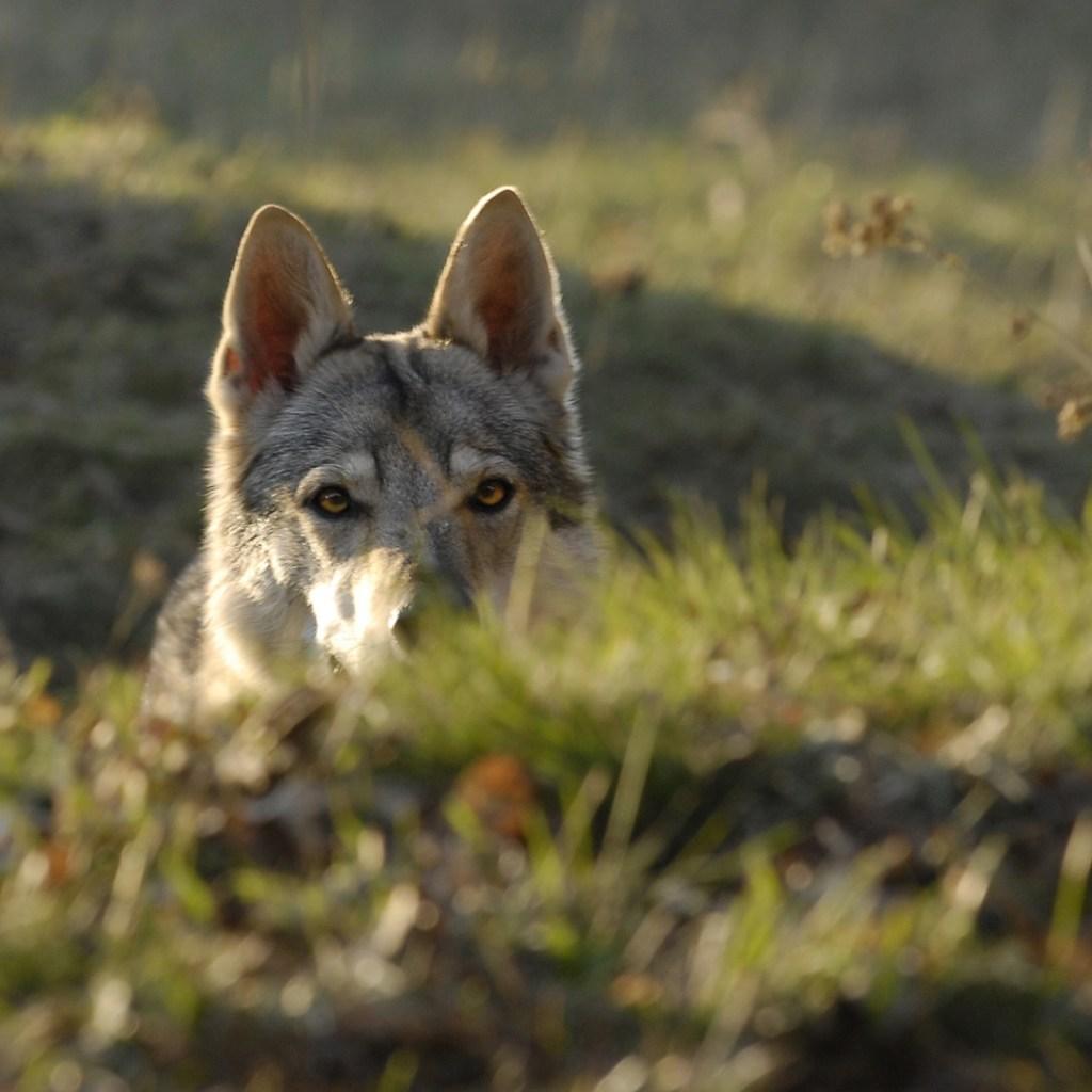 gray wolf peeking through the grass in Yellowstone