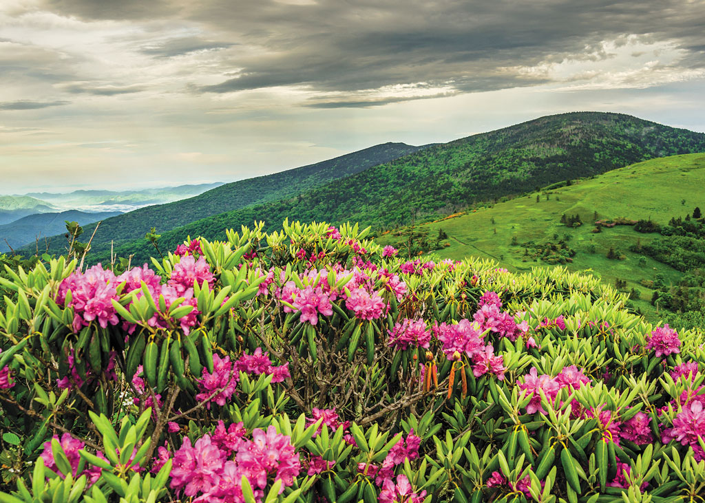 rhododendrons on a mountain