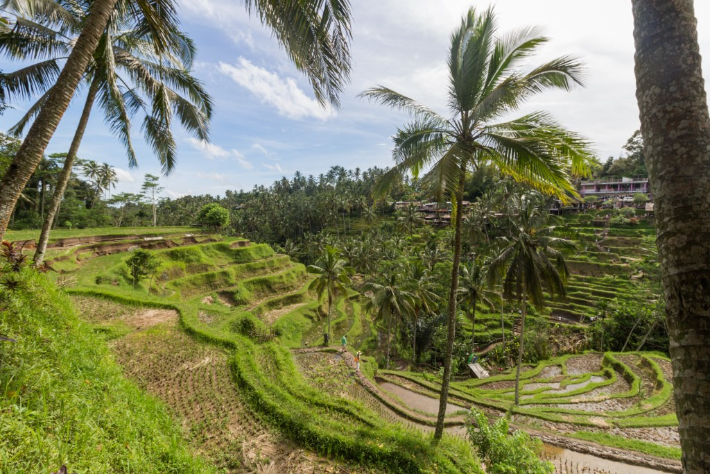 Tegallalang Rice Terraces