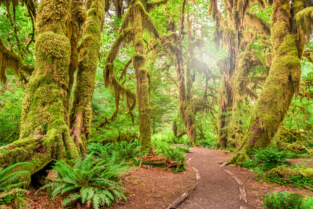 Hall of Mosses in Olympic National Park with green scenery and a light shining