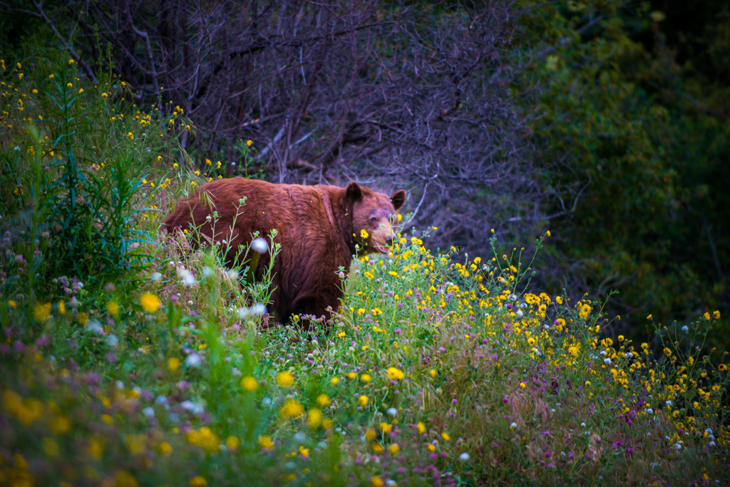 Black Bear California Sequoia Kings Canyon National Park surrounded by wildflowers.
