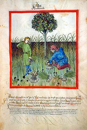 Harvesting garlic featured heavily in medieval health handbook, Tacuinum Sanitatis. Photograph: Wikimedia Commons
