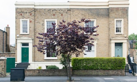 A Cercis canadensis or eastern redbud tree in Haggerston. Photograph: Paul Wood