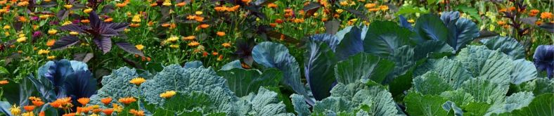 Jardin, potager, permaculture, variétés anciennes, agroécologie, semences paysannes