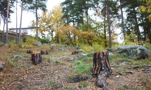 Skogsbacke med fällda tallar