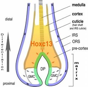 Hydraulic Theory of Hair Loss