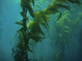 sea kelp for hair loss